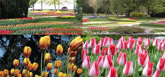 MOD_tulipes_morges