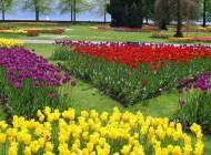 Festa dei tulipani, fiori e colori per l'arrivo della primavera